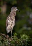 Yellow Crowned Night Heron stock image