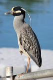 Yellow-crowned Night-heron (Ny Royalty Free Stock Image