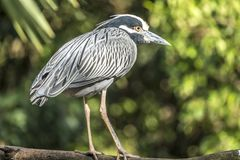Yellow-crowned Night Heron; Nyctanassa Violacea Stock Images