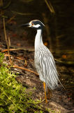 Yellow-crowned Night-Heron (Nyctanassa violacea) Royalty Free Stock Images