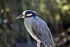 Yellow Crowned Night Heron (Nyctanassa Violacea) Royalty Free Stock Image