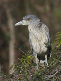 Yellow-crowned Night Heron, Nyctanassa violacea Royalty Free Stock Photos