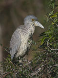 Yellow-crowned Night Heron, Nyctanassa violacea Royalty Free Stock Images