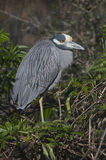 Yellow-crowned Night Heron, Nyctanassa violacea Stock Image