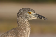 Yellow-crowned Night Heron, Nyctanassa violacea Royalty Free Stock Photography