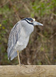 Yellow-crowned Night Heron, Nyctanassa violacea Stock Images