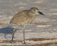 Yellow-crowned Night Heron, Nyctanassa violacea Royalty Free Stock Image