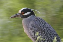Yellow-crowned Night-Heron (Nyctanassa violacea) Royalty Free Stock Photo
