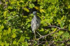 Yellow-crowned Night Heron Stock Photography