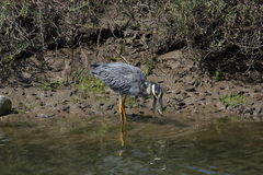 Yellow-crowned Night-Heron (Nyctanassa violacea) Stock Images