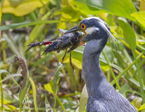 Yellow-crowned Night Heron (Nyctanassa violacea) with a caught crawfish. Royalty Free Stock Images