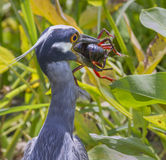 Yellow-crowned Night Heron (Nyctanassa violacea) with a caught crawfish. Stock Photo