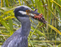 Yellow-crowned Night Heron (Nyctanassa violacea) with a caught crawfish. Stock Images