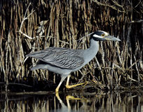 The yellow-crowned night heron Stock Photography