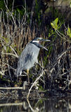 The yellow-crowned night heron Stock Image