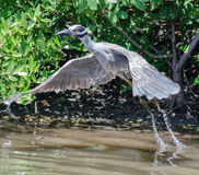 Yellow-Crowned Night Heron Royalty Free Stock Images