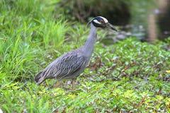Yellow-crowned Night-Heron (Nyctanassa violacea) Royalty Free Stock Photos