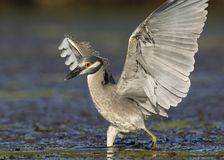 Yellow-crowned Night Heron landing in a Florida lagoon. Yellow-crowned Night Heron Nyctanassa violacea landing in a lagoon - St. Petersburg, Florida Royalty Free Stock Images