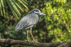 Yellow-crowned night heron; Nyctanassa violacea Royalty Free Stock Photography