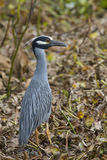 Yellow-crowned Night Heron (Nyctanassa violacea) in a swamp. Stock Image