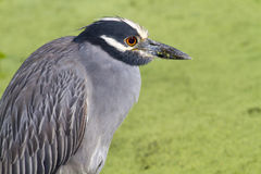 Yellow-crowned Night Heron (Nyctanassa violacea) in a swamp. Stock Photography