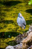 A Yellow-Crowned Night Heron in Sanibel Island, Florida. A portrait shot of a black-crowned night heron chilling around the island of Ding Darling National royalty free stock images