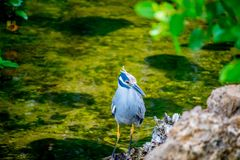 A Yellow-Crowned Night Heron in Sanibel Island, Florida. A portrait shot of a black-crowned night heron chilling around the island of Ding Darling National stock photos