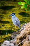 A Yellow-Crowned Night Heron in Sanibel Island, Florida. A portrait shot of a black-crowned night heron chilling around the island of Ding Darling National royalty free stock image