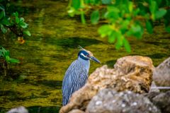 A Yellow-Crowned Night Heron in Sanibel Island, Florida. A portrait shot of a black-crowned night heron chilling around the island of Ding Darling National stock image