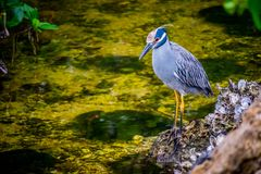 A Yellow-Crowned Night Heron in Sanibel Island, Florida. A portrait shot of a black-crowned night heron chilling around the island of Ding Darling National stock photography