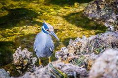 A Yellow-Crowned Night Heron in Sanibel Island, Florida. A portrait shot of a black-crowned night heron chilling around the island of Ding Darling National royalty free stock photography