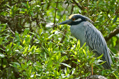 Yellow-crowned Night Heron Stock Photo