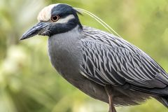 Yellow-crowned night heron percher in Florida Royalty Free Stock Photography