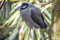 Yellow-crowned night heron percher in Florida Royalty Free Stock Photo