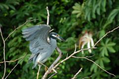 Yellow-crowned Night-Heron. Portrait of a Yellow-crowned Night-Heron Royalty Free Stock Photos