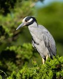 Yellow Crowned Night Heron Portrait stock images