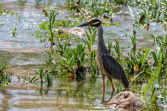 Yellow Crowned Night Heron Searching for Food. On the San Gabriel river in Georgetown Texas royalty free stock image