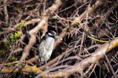 Yellow-crowned Night Heron sitting in a tangle of trees. On a cool fall morning Royalty Free Stock Image