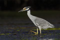 Yellow-crowned Night Heron stalking a crab in a shallow lagoon -. Yellow-crowned Night Heron Nyctanassa violacea stalking a crab in a shallow lagoon - Fort Royalty Free Stock Photography