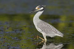 Yellow-crowned Night Heron stalking a crab in a shallow lagoon - Stock Images