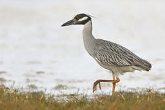 Yellow-crowned Night Heron Stalking its Prey. Yellow-crowned Night-Heron (Nyctanassa violacea) Foraging on a Beach - St. Petersburg, Florida Royalty Free Stock Image