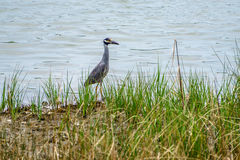 Yellow Crowned Night Heron Stock Photography
