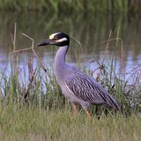 Yellow Crowned Night Heron wading on the Marsh royalty free stock photos