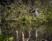 Yellow-Crowned Night Heron - Wakulla Springs Royalty Free Stock Photo