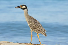 Yellow-crowned Night heron walking on the beach Stock Images