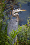 Yellow-Crowned Night Heron. At Walls Park in Palm Harbor Florida Stock Image