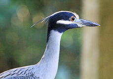 Yellow crowned night heron in profile Stock Images