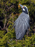 Yellow-crowned Night Heron Royalty Free Stock Photo