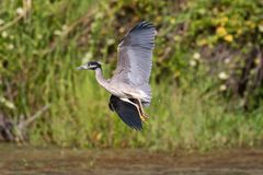Yellow-Crowned Night-Heron. Flying in Rio Grande Valley, Texas Royalty Free Stock Image