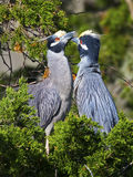 Yellow-crowned Night Herons in Tree Royalty Free Stock Photography